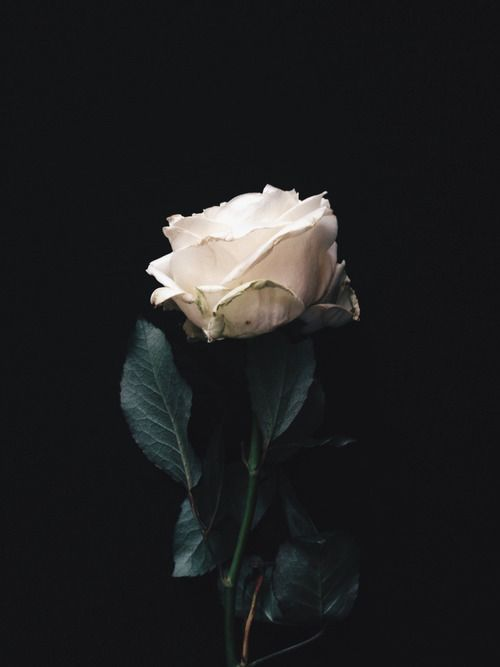 Image result for white rose aesthetic