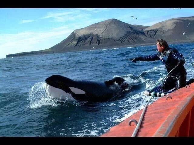 Wow! A breathtakingly beautiful pic Leading freed Keiko to pod of orcas :) #Tweet4 Taiji @CoveGuardians #Blackfish pic.twitter.com/N8ClbnK8xV