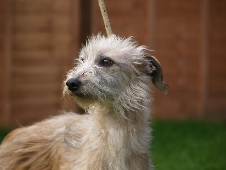 Lurcher Link :: View topic - Rough coated Beddy/Whippet, Fawn girl.. 2 yr old