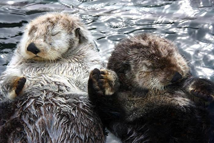 Enquanto dormem na água, as lontras ficam de mãos dadas para que não se percam boiando durante o sono