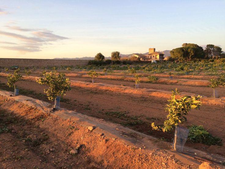 Frisch angepflanzte Orangenbäume auf dem Gelände der spanischen Finca Naranjas del Carmen. Diese Bäumchen haben alle einen Paten. - © Naranjas del Carmen