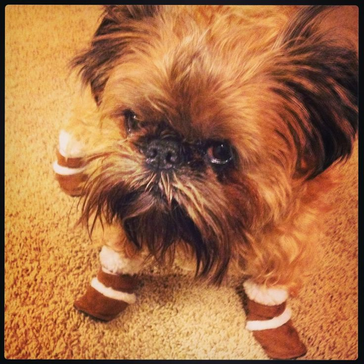 Brussels Griffon in boots. :)
