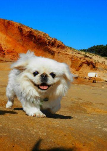 Pekinés. Fueron criados como perros de la realeza en China / Pinterest