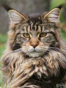 2017 best images about FELINES--MAINE COON CAT & NORWEGIAN ...  2017 best image...