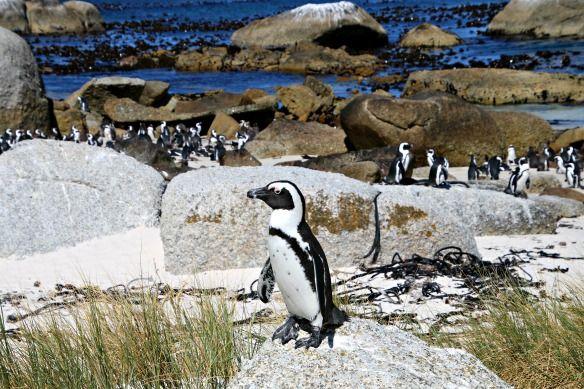 Artikel zu Kapstadt: Ausflug zu den Pinguinen #suedafrika #kapstadt #reiseblog #reiseblogger