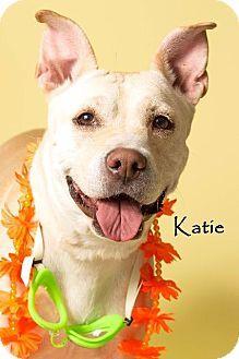 Gilbert, AZ - Shar Pei/Labrador Retriever Mix. Meet Katie, a dog for adoption. http://www.adoptapet.com/pet/18492574-gilbert-arizona-shar-pei-mix