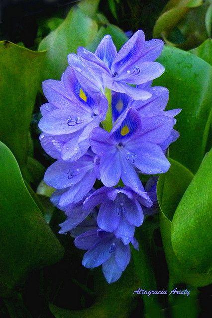 Jacinto de Agua/Water Hyacinth by Altagracia Aristy, via Flickr