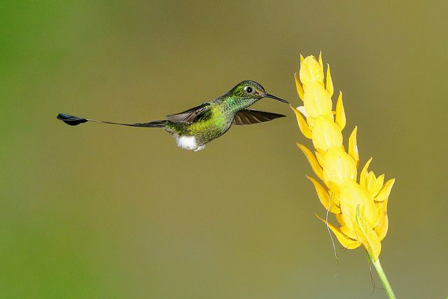 Booted Racket-tail (3282L) - Bob Walker
