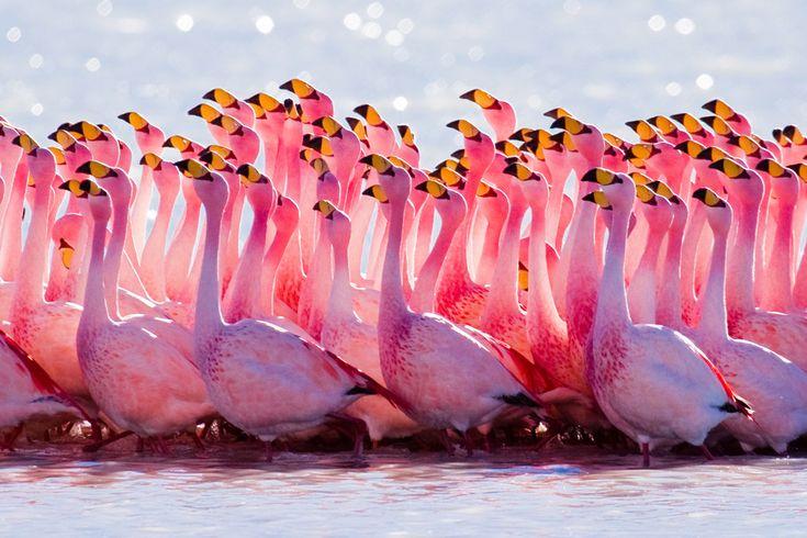 Vahşi Amerika'dan bu karede Şili, Altiplano'da çöl flamingoları. [Günün Fotoğrafı - Haziran 2012]