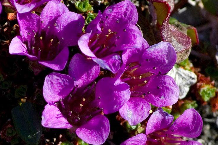 Purple saxifrage, Nunavut's provincial flower
