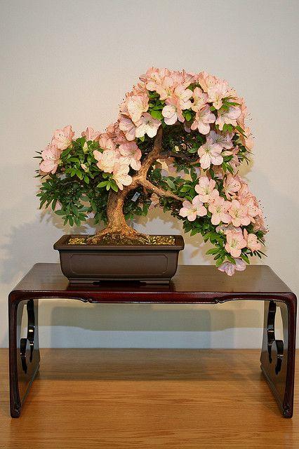 Satsuki Azalea (Rhododendron indicum) 'Bunka' | Flickr - Photo Sharing!
