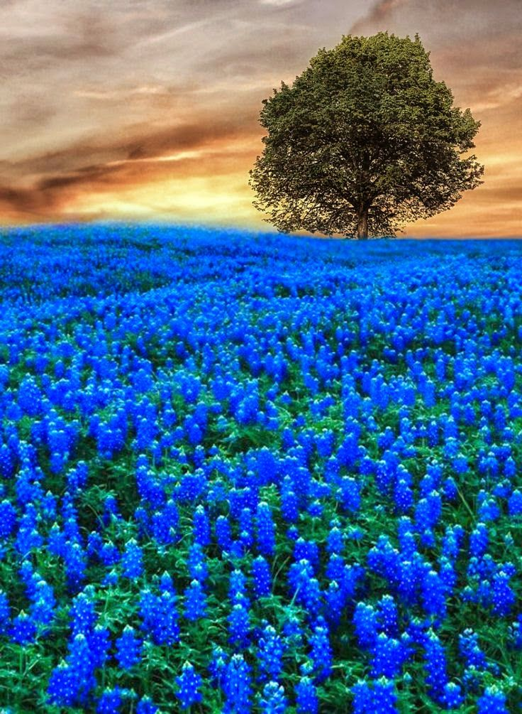 Blue lone tree flower fields landscape