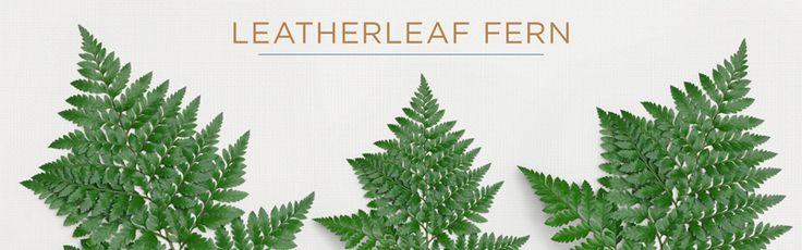 leatherleaf fern filler