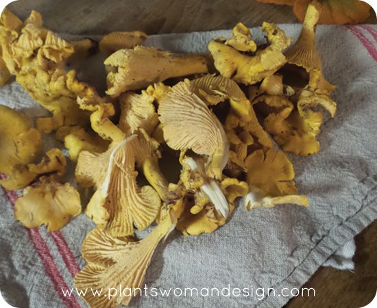 chantrelle mushrooms collected on the Olympic Peninsula in Washington State.