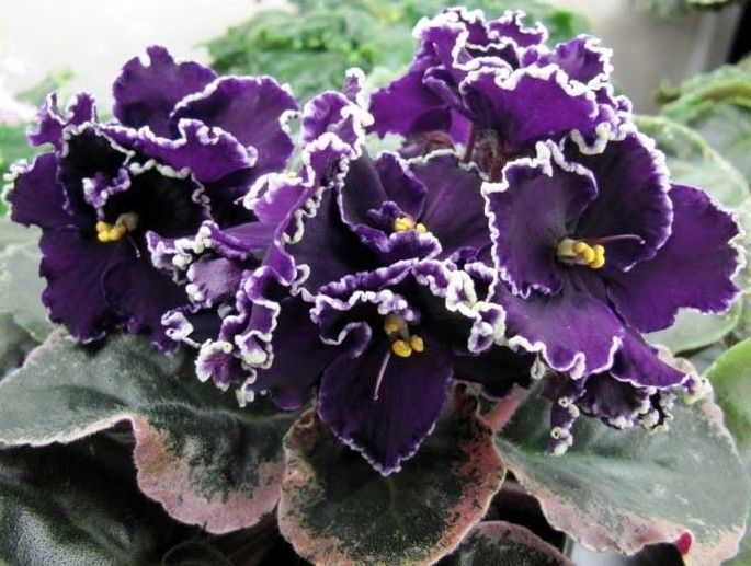african violet apache this one - African Violets