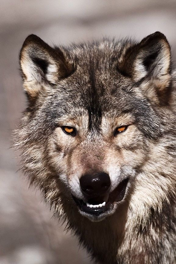 best 25  angry wolf ideas on pinterest