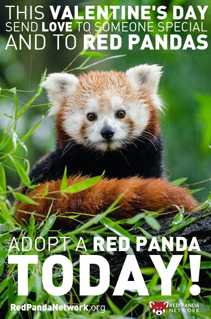 Bien connu 41 best Fun Facts About Red Pandas images on Pinterest | Red  CG16