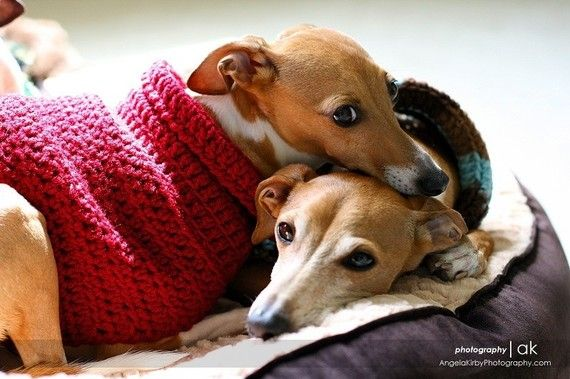Miniature Italian Greyhound love