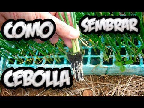 Como Germinar Una Lechuga Sin Semilla || Experimento Organico || La Huertina De Toni - YouTube