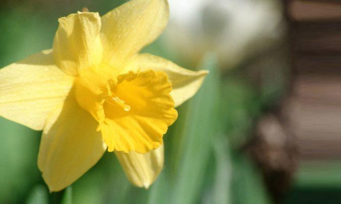Narciso. Los narcisos son plantas bulbosas que florecen a finales de invierno. Poseen unas características flores en forma de trompeta, principalmente amarillas, aunque también hay variedades blancas y anaranjadas.