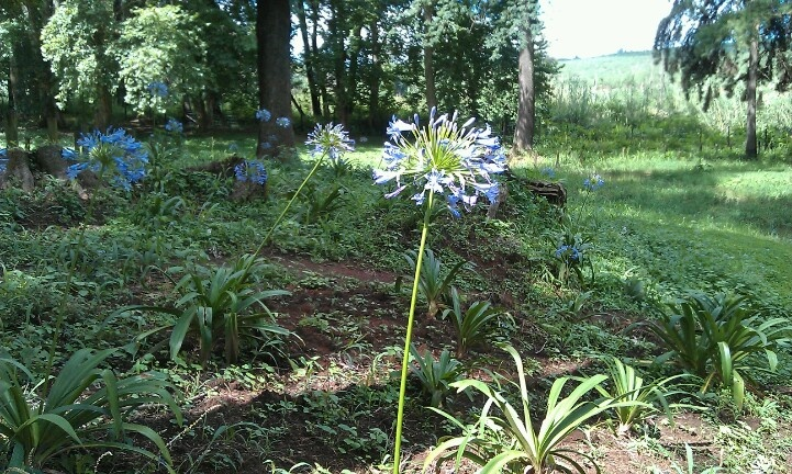 Agapathas that were planted in July are blooming :-)