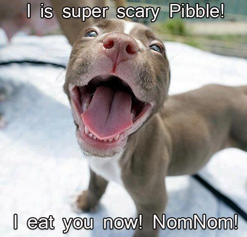 """You cannot deny that this little Pibble baby is totally adorable, but some people hear Pit Bull and freak out. The Pit Bull is the most controversial dog """"breed"""" in America. How did that come to be, and what truth is there in their reputation for being bad dogs? Read what our Dr. Coates says in the 1st of her three-part series here (parts 2 and 3 are linked at the bottom of each post)."""