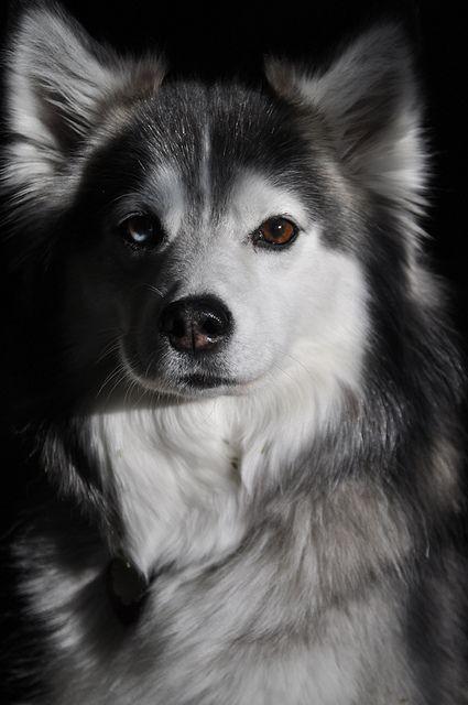 American Eskimo x Siberian Husky #Huskimo