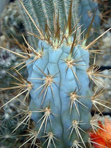 Browningia-hertlingiana-OJO-blue-cactus-azureocereus-hertiglianus-seed-20-SEEDS