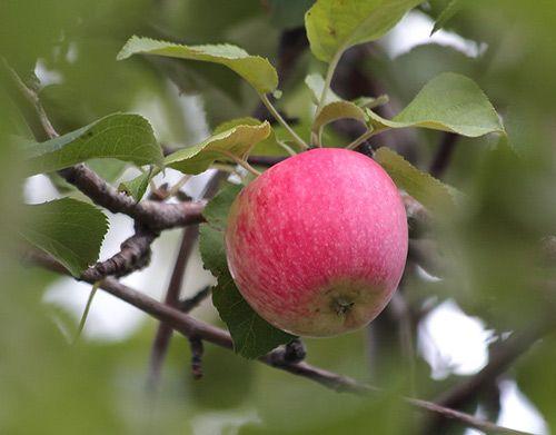 Сорт яблони Башкирский красавец