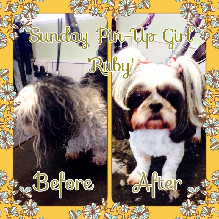 Sunday Pin-Up Girl Alert! She's here boys...its 'Ruby' X! ✂️#shitzu #dogsofinstagram #shitzusofinstagram #prestigepaws #dogoftheday #doggrooming #poshpooch #dogstagram #pigtails