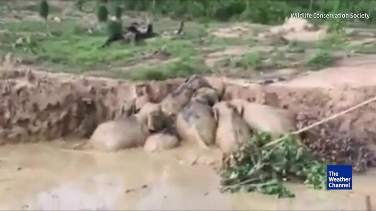 A herd of 11 endangered Asian elephants are rescued from a muddy bomb crater in Cambodia.