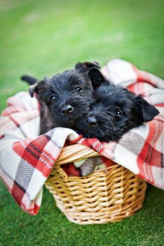 Two's a crowd - Scottie dog puppies. Love Scottie Dogs & Vintage & Color-Jo at www.adorepurses.com