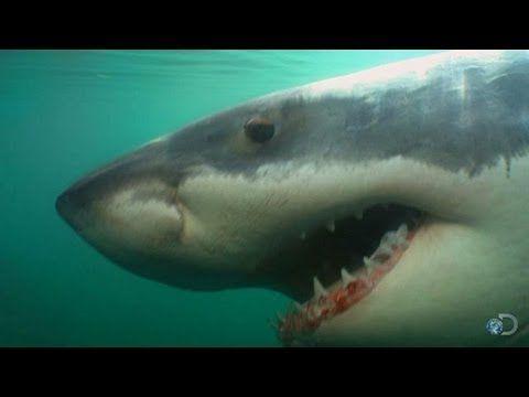 Great Whites Return to Chatham, MA | Return of Jaws