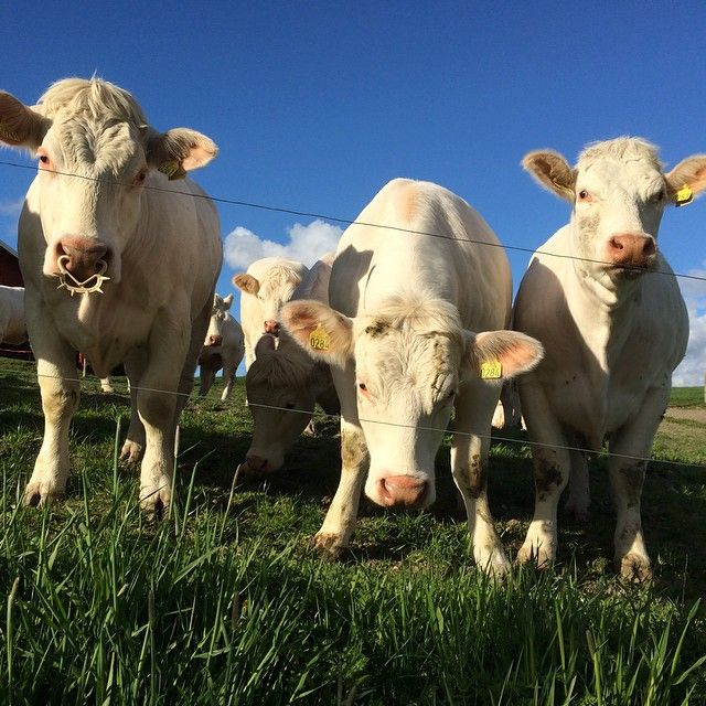 ᗰY ᑎEIGᕼᗷOᖇᕼOOᗪ #nabolag #naboer #cows #big #stor #kyr #blue #nofilter #ilovenorway #melhus #tronderbladet #mai #may #farm #bondegård #livetpålandet #tine #vår #sesons #picofday #lifeisgood #liveterherlig #dyreliv