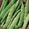 how to plant bush beans(my favorite is Early Italian bush bean)