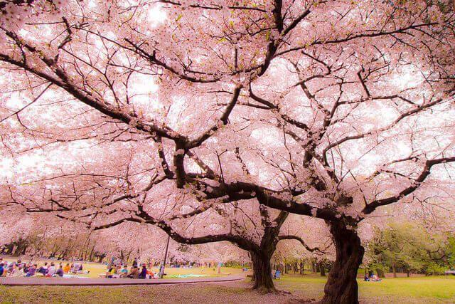 Pin By Robin Palmer On Beautiful Pink Blossom Sakura Flower Sakura Tree Sakura Art Blossom Trees