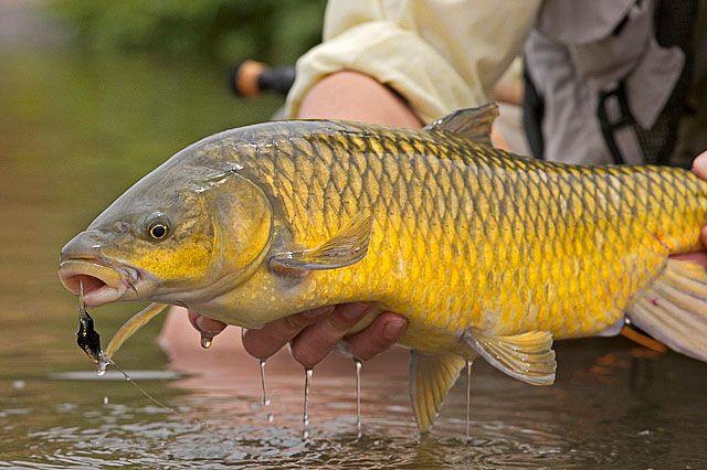 Yellowfish - South Africa Yellowfish