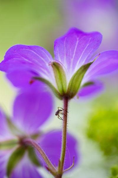 Midsummer flower