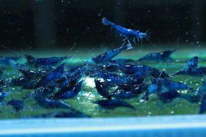 17 best ideas about crevette aquarium on sommets de l adolescence hippoce