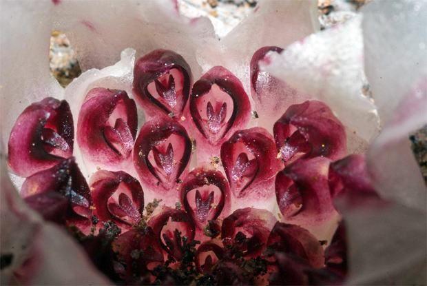 orquídea subterranea