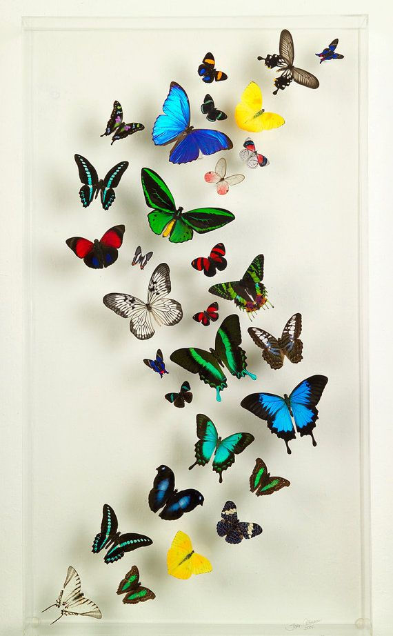 "18"" x 32"" Multi Color Exotic Butterfly Display"