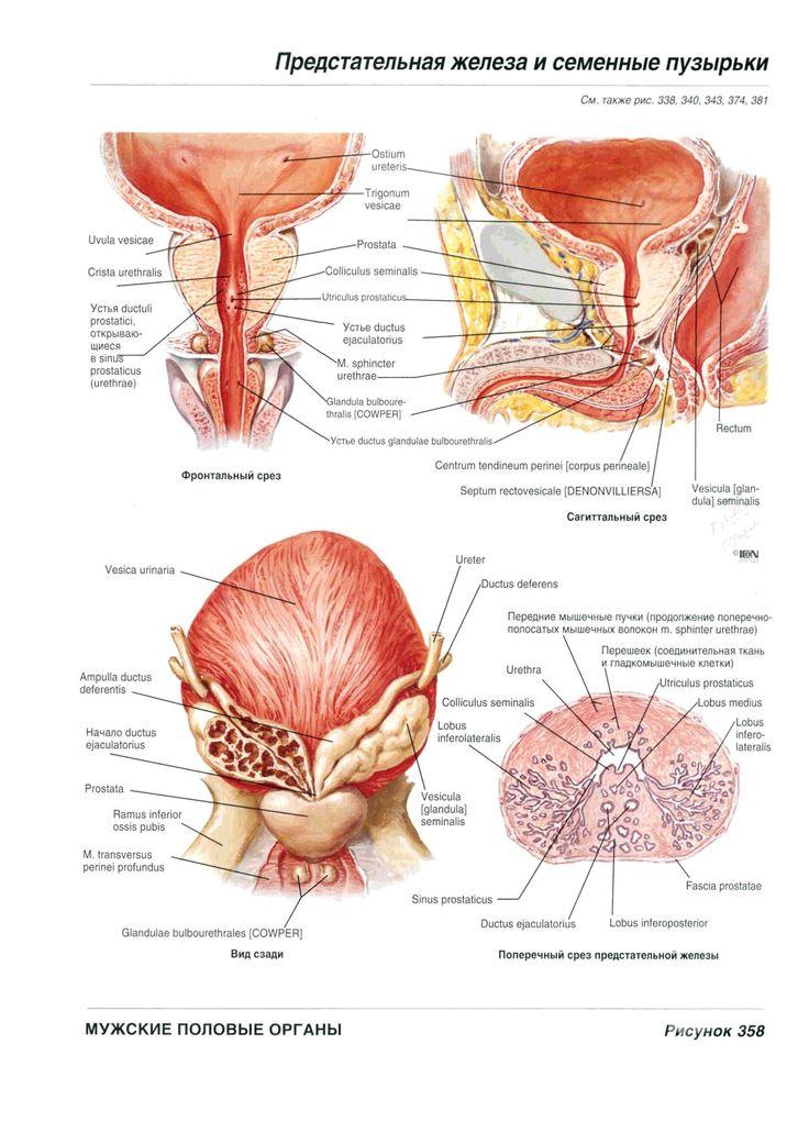 Groß Beckenbodenmuskelanatomie Fotos - Anatomie Ideen - finotti.info
