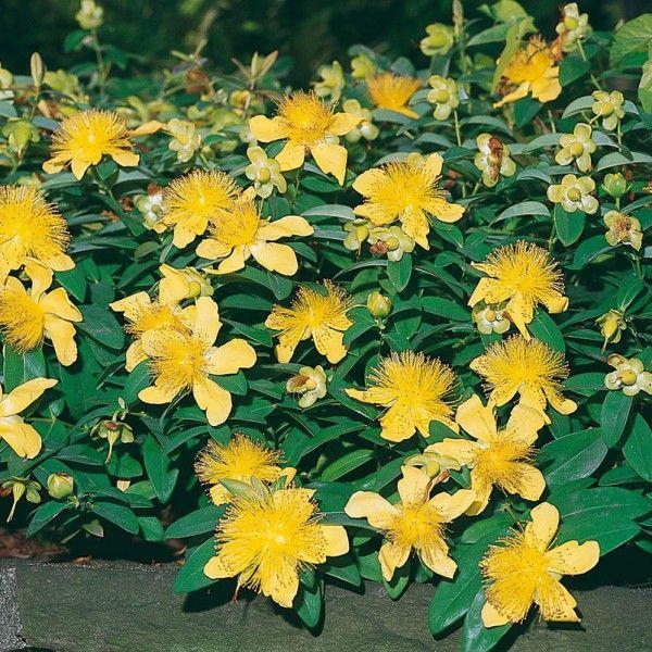 Pflanzen-Kölle Teppich-Johanniskraut 'Rose von Sharon', 9 cm Topf.  Mit dem pflegeleichten Teppich-Johanniskraut kommt Farbe in den Garten. Die Blüten dienen Bienen und Insekten als wertvolle Nahrungsquelle.