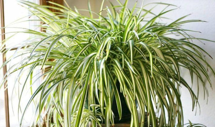 Túto rastlinu by ste určite mali mať doma. So svojimi úžasnými vlastnosťami dokáže zázraky! - Báječný lekár
