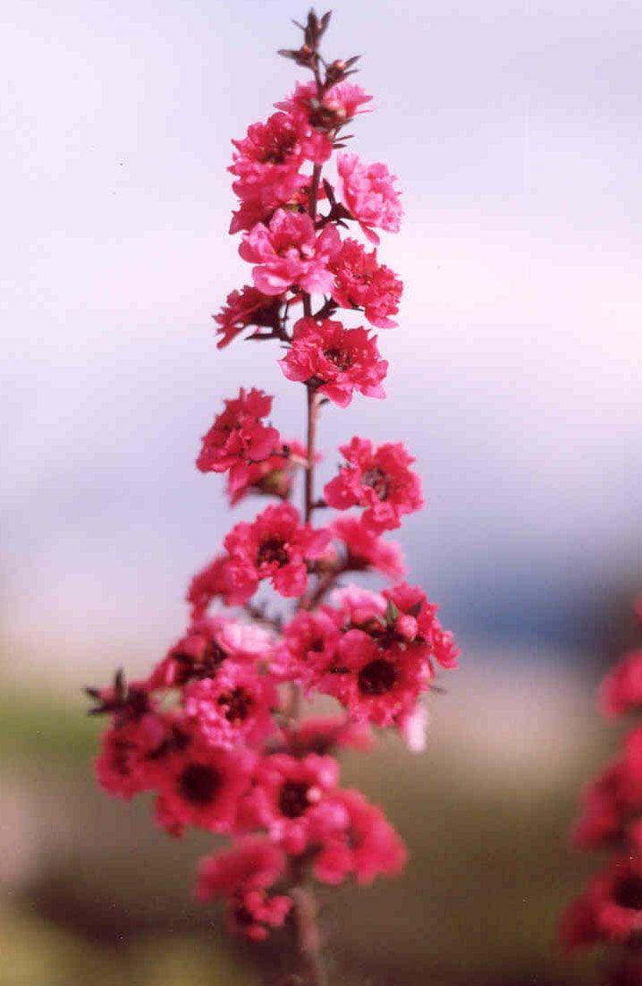 Leptospermum - tea tree