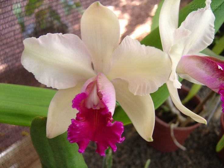 Orquídea é coroada a rainha das flores - ABCSEM