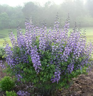 This smoky-purple Baptisia makes a strong statement in a perennial bed, hedge or as a speciman planting.