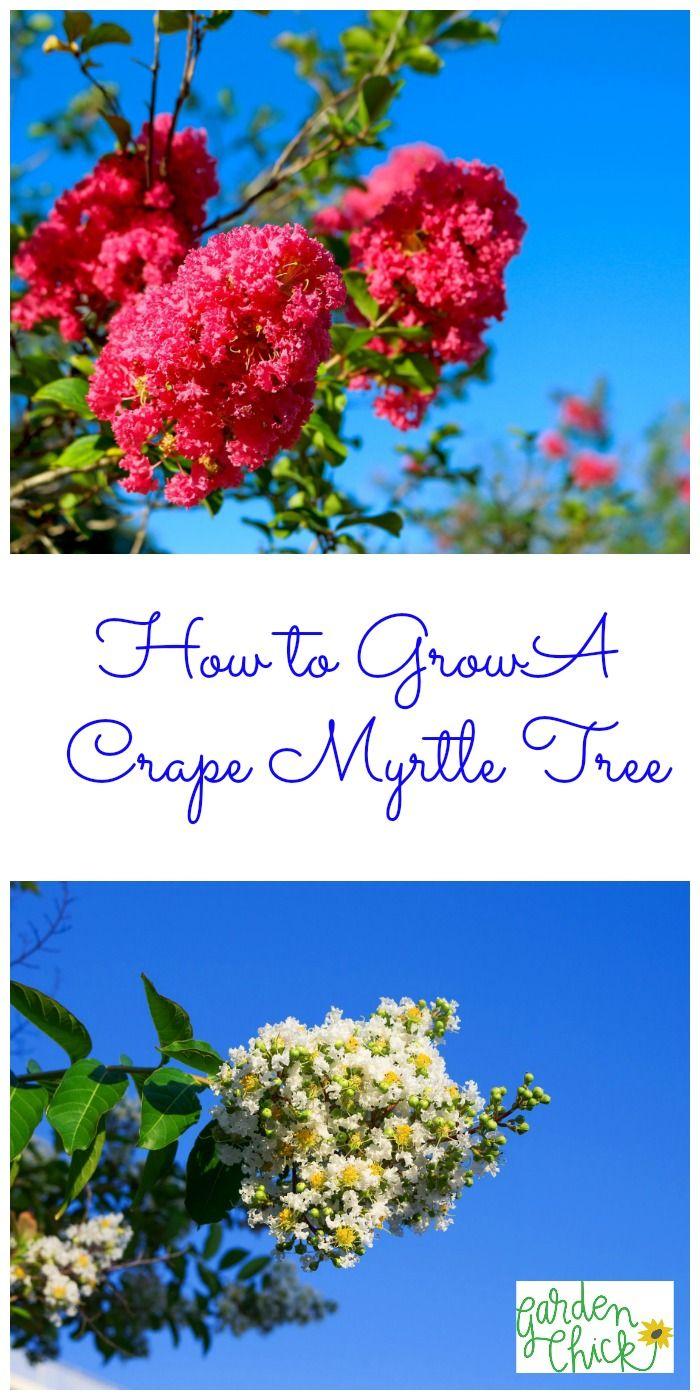 how to grow crape myrtle
