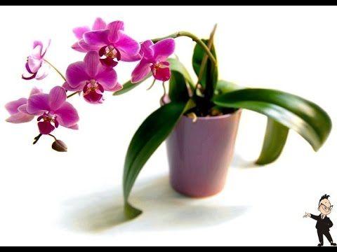 Орхидеи Фаленопсис . Полезные советы - YouTube