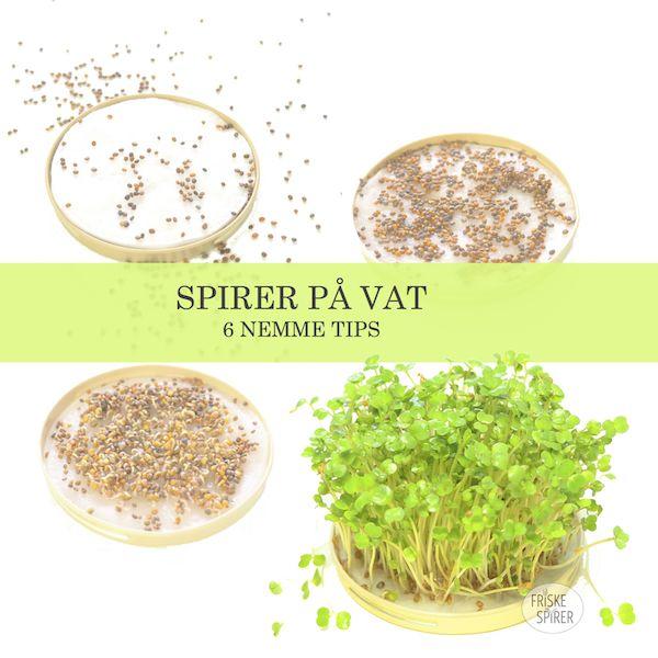Tips to Grow #sprouts of #Cress, #Chia, #Mustard or #Arugula - Tips til at dyrke #spirer af #Karse, #Sennep eller #Rucola på #økologisk vat https://spirefroe.dk/geldannende-spirer